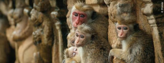 Im Rudel können sich die Affen besser gegen Fressfeinde verteidigen und vor allem können sie sich vorwarnen.