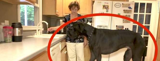 Video: Der größte Hund der Welt