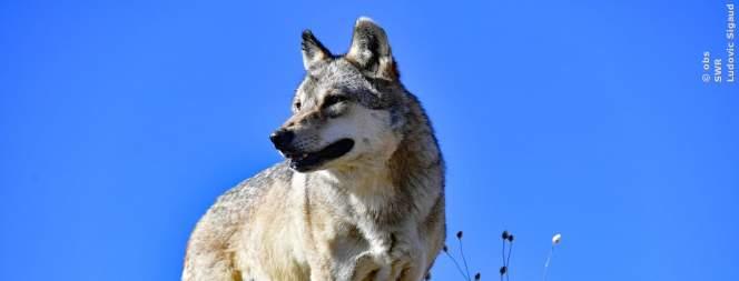 Ein Wanderwolf in Deutschland