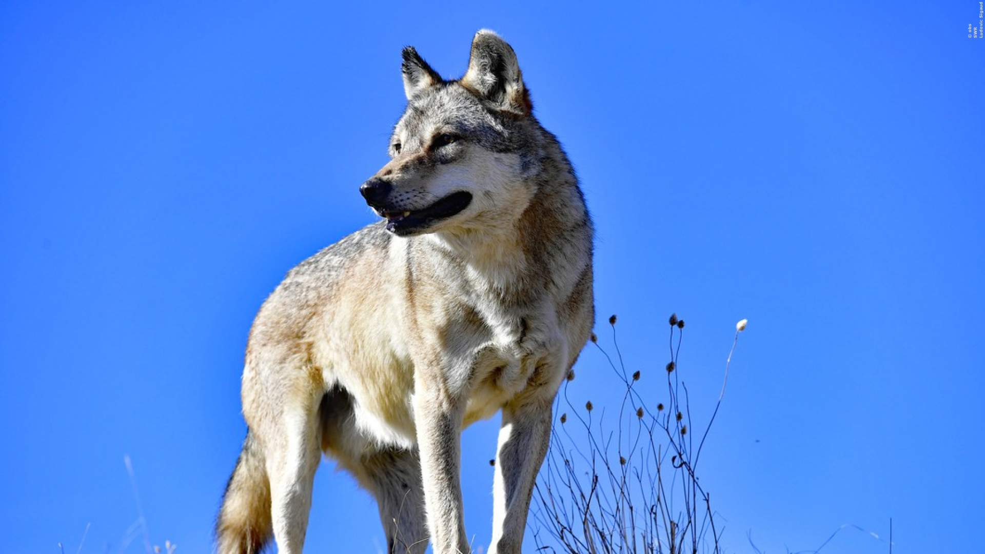 'Die unglaubliche Reise der Wanderwölfe' - TV-Doku