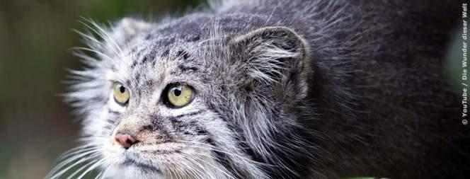 Der Manul: Süße Katze oder gnadenloser Jäger