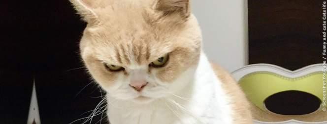 Video: Wütende Katzen bringen dich zum lachen