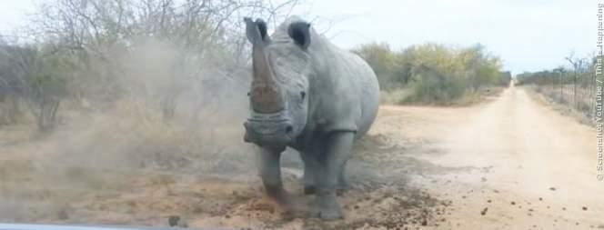 Video: Tonnenschweres Nashorn rammt Auto
