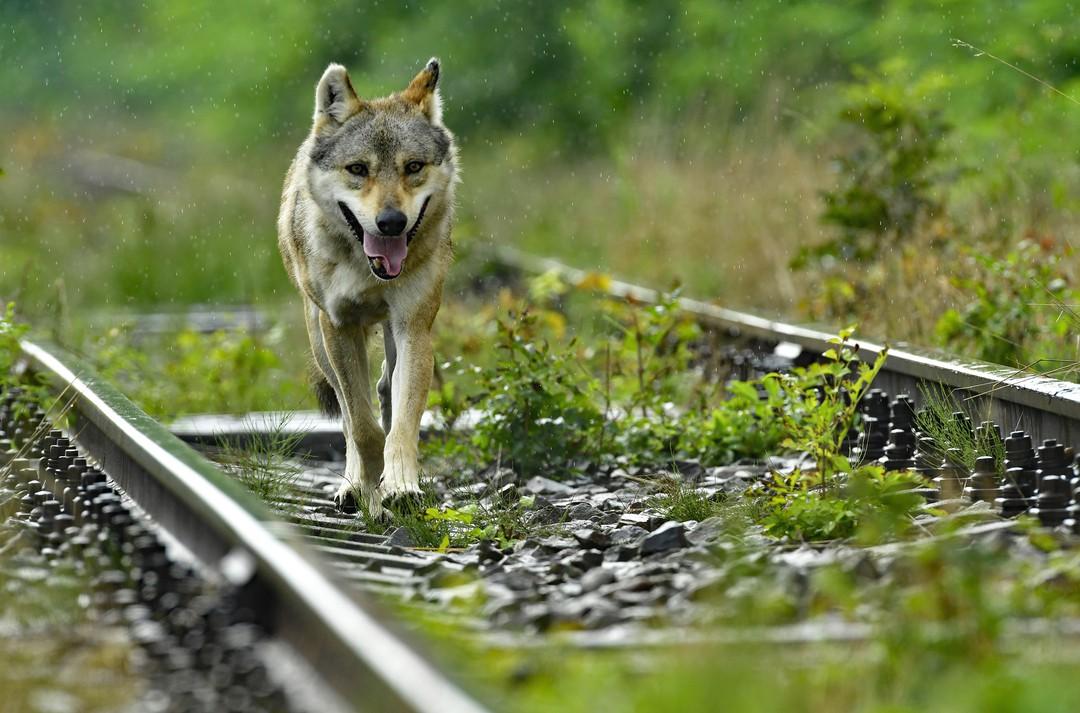 Die unglaubliche Reise der Wanderwölfe - TV-Doku - Bild 1 von 3